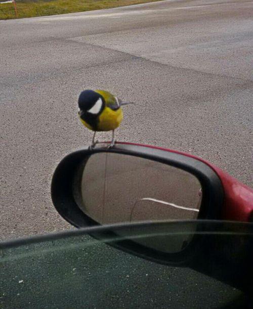 Синичка на зеркале автомобиля